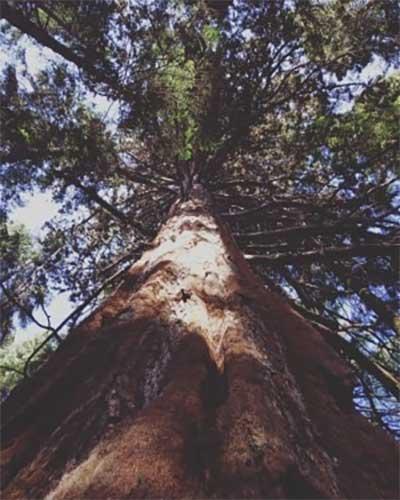 Una de las muchas sequoias del parque